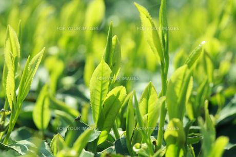 茶葉 FYI00045874