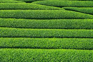 茶畑 FYI00045894
