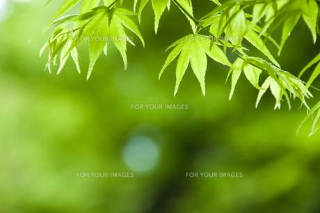 新緑のカエデ FYI00046829