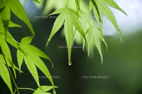 新緑のカエデ FYI00046843