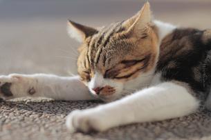 眠る猫 FYI00048718