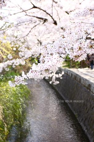 小川の桜 FYI00049244