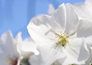 桜 FYI00049257