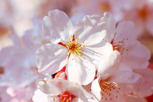 桜 FYI00049261