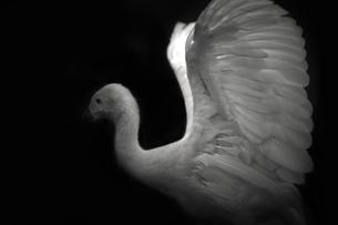 鳥の翼 FYI00050805