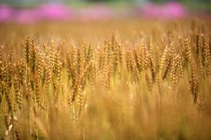 麦畑 FYI00050825