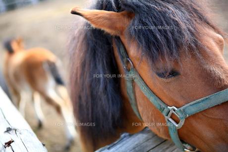木曽馬の親子 FYI00050830