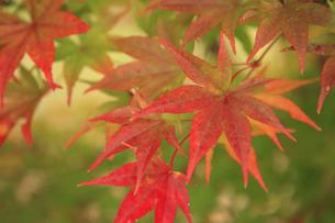 長野安曇野の紅葉 FYI00050832