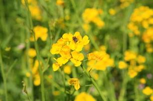 菜の花とミツバチ FYI00050833
