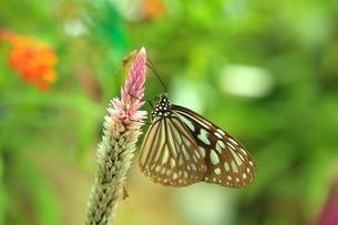 西表島の蝶 FYI00050836