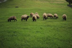 草原と羊 FYI00050839