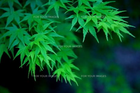 新緑の頃の紅葉 FYI00050841