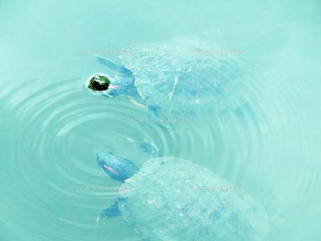寄り添い泳ぐ亀 FYI00053208