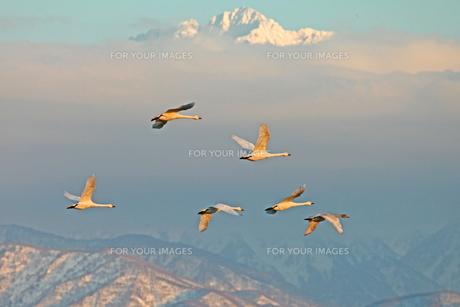 夕陽を浴びて 白鳥と剱岳 FYI00056140