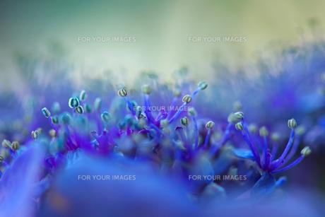 紫陽花 FYI00056189