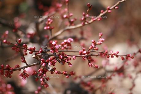 梅のつぼみ FYI00057097