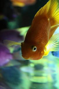 金魚 FYI00058057
