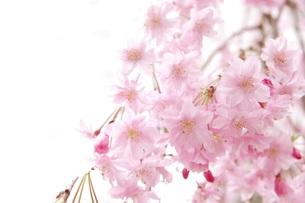 桜 FYI00062180