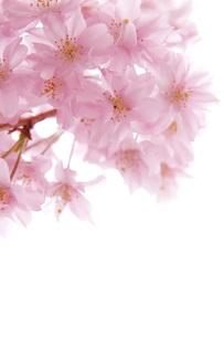 桜 FYI00062181