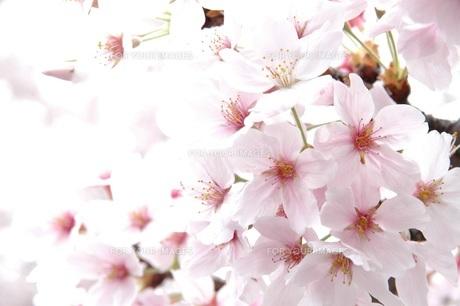 桜 FYI00062186