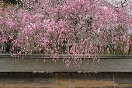 しだれ桜 FYI00062189
