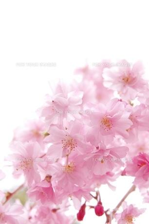 桜 FYI00062200