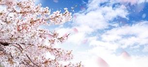 桜のイメージ FYI00062474
