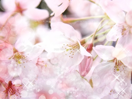桜 FYI00062478