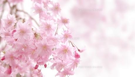 桜の花 FYI00062489
