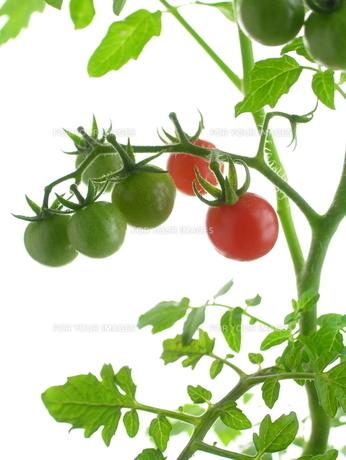 ワイルドトマト FYI00065339