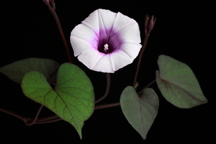 サツマイモの花 FYI00065455