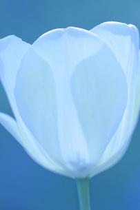 白いチューリップ FYI00081957