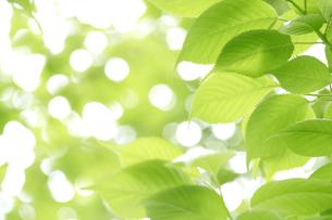 サクラの葉の新緑 FYI00081969