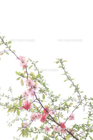 ボケの花 FYI00082001