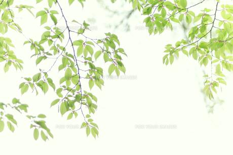 ケヤキの新緑 FYI00082145