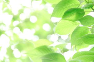 桜の新緑 FYI00082169