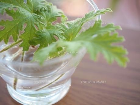 グラスの水に浮かべたハーブ FYI00085543