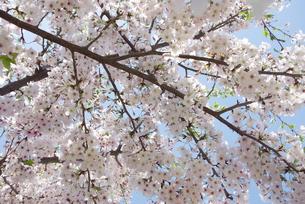 快晴の春/桜62 FYI00089738