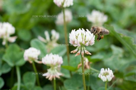 ミツバチとクローバー FYI00092559