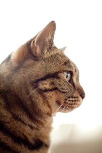 猫の横顔 FYI00092761