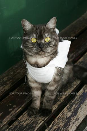 不妊手術をして包帯をした猫 FYI00092802