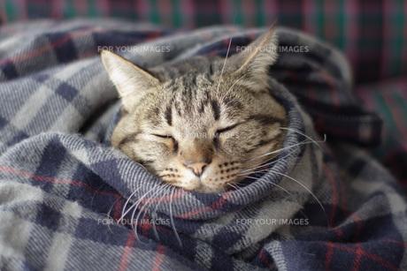毛布にくるまる猫3 FYI00092818