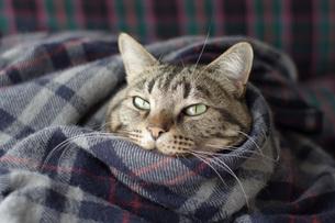 毛布にくるまる猫1 FYI00092819