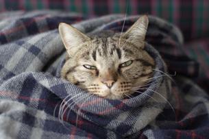 毛布にくるまる猫2 FYI00092825