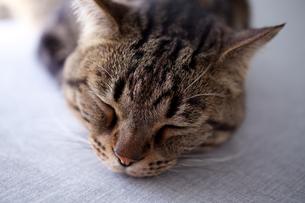 眠る猫 FYI00093073