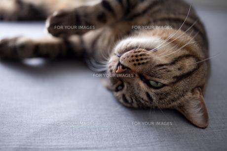 眠る猫の素材 [FYI00093100]