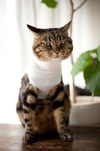 包帯を巻いた猫の素材 [FYI00093452]