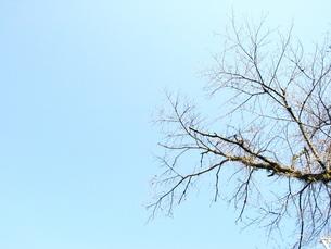 冬の桜の木 FYI00100626