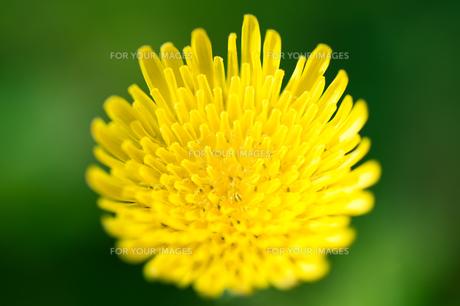 黄色い花 FYI00100790