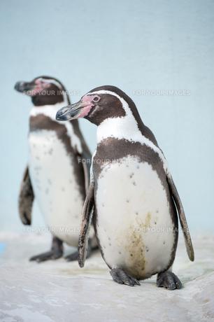 ペンギン FYI00100799